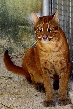 Asian Golden Cat